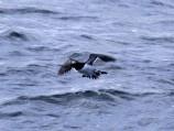 Alkiniai apdaru primena pingvinus