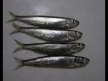 Iš viso tyrimų metu pagautos 14 rūšių žuvys. Nuotraukoje - brėtlingiai